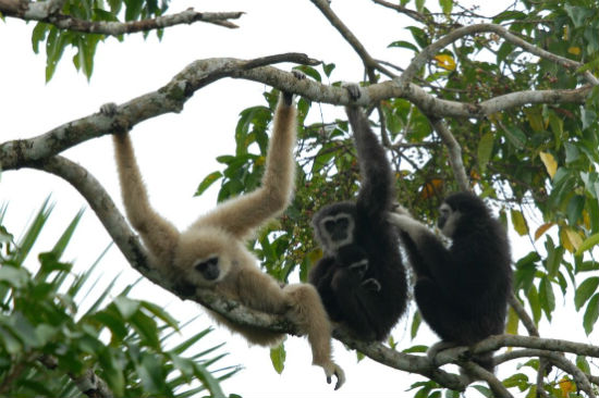 Gibbons hanging from tree limb